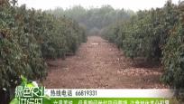 文昌荔枝:保果期间做好田间管理 注意树体养分积累