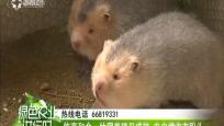 临高和舍:竹狸养殖见成效 农户增收有盼头