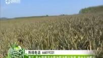 昌江:香水菠萝产业带动周边群众致富 助力乡村振兴