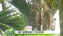 琼海:胡椒槟榔生病不要急 塔洋一村民有妙方