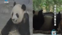 海南的大熊貓兄弟