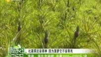 菠萝:原生态种植 产量3000-5000斤/亩
