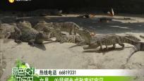 文昌:凶猛鳄鱼成致富好宝贝