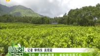 万宁:桑树长势喜人 单批亩产两千斤