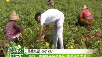澄迈:夜蛾啃食地瓜叶片 降低地瓜产量