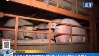 海南多措并举解决生猪压栏问题 24天出岛超35万头生猪