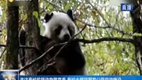 關注秦嶺珍稀動物繁育季 秦嶺大熊貓國家公園啟動建設