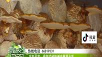 定安:灵芝即将成熟上市 孢子粉品质好价格高