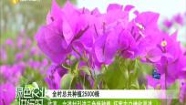 臨高:文道村引進三角梅種植 拓寬農戶增收渠道