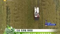 文昌:水稻收割正當時 紅米營養價值高