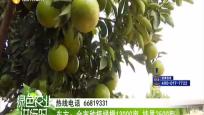 东方:全是种植绿橙13000亩 挂果2500亩
