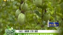 澄迈:百香果种植效益显 带动贫困户增收
