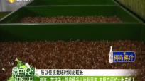 琼海:芽苗无土栽培提升土地利用率 有限空间扩大生产收入