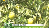澄迈福橙迎来收获季 预估产量将突破700万斤