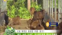 """澄迈:90后""""牛倌"""" 返乡养牛致富 带动乡亲增收"""