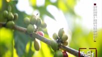 母山咖啡:黎母山里种咖啡 见证从种子到杯子的咖啡故事