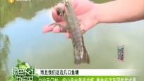 白沙元门村:好山泉水养活龙虾 集体经济巩固脱贫成果