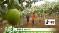 澄迈:探索培育新品种苹果枣 海南首家种植即将上市