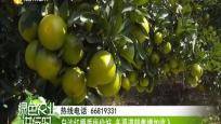 """海墾龍江農場:揭秘白沙紅橙""""果王""""的誕生"""