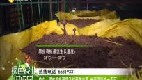 瓊中:黑皮雞樅菌需及時預防蟲害 光照溫度缺一不可