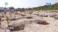 三沙:春分时节种樱桃 为岛礁披上绿装