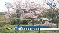 儋州:蘭洋櫻花開 游客踏春來