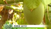 """樂東:大安鎮首屆""""5·20""""甜蜜果蔬采摘節成功舉辦"""
