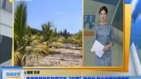 """海南西部地区种植万亩""""文椰""""新品种 助力改善种植结构"""