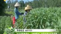 """临高调楼鲁楼村:""""植物黄金""""秋葵成就农民致富梦"""