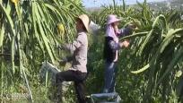 东方:发展火龙果产业 村民生活更红火