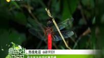 我省首次发现红腹异蜻