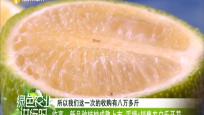 临高:新品种桔柚成熟上市 采摘+销售农户乐开花
