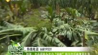 """琼海:农业保险为农户""""护航"""" 助力灾后恢复再生产"""