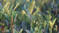 """白沙:依托优势深度整合 茶业成为富农""""抓手"""""""