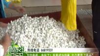 """万宁南桥:卖钱了!蚕茧成功销售 农户喜获""""蚕金"""""""