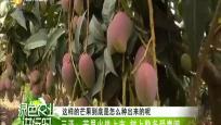 三亚:芒果火热上市 树上熟备受青睐