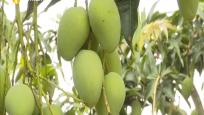 东方:芒果成熟上市 水分多糖度高深受消费者喜爱