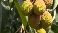 文昌:荔枝陆续上市 本月中旬进入高峰期