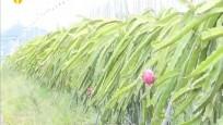 昌江:火龙果绿色生态种植 产业带动当地村民致富增收