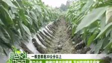 海口云龙:辣椒注意田间管理 及时防控常见病害