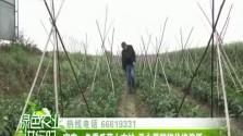 定安:冬季瓜菜上市忙 圣女果辣椒价格偏低