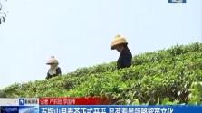 五指山早春茶正式开采 品茗看景领略黎苗文化