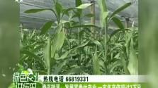 澄迈瑞溪:发展富贵竹产业 一亩年产值超过2万元