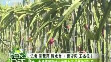 陵水:本号镇军普村火龙果上市 价格达7元/斤