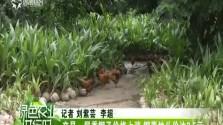文昌:尾季椰子价格上涨 椰青地头价达3.5