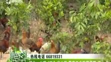 """琼中:山鸡""""飞""""出山区 带来农户致富希望"""