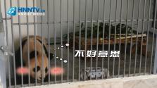 大熊猫全身都是宝,这项你绝对想不到!你会给它们取个什么样的小名?