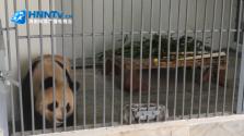 微视频:大熊猫
