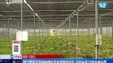 海口菜篮子基地种植抗高温蔬菜保供应 日均出产20吨本地叶菜