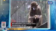 刚出生小猴不幸夭折 猴妈妈紧抱不放手 画面令人心碎